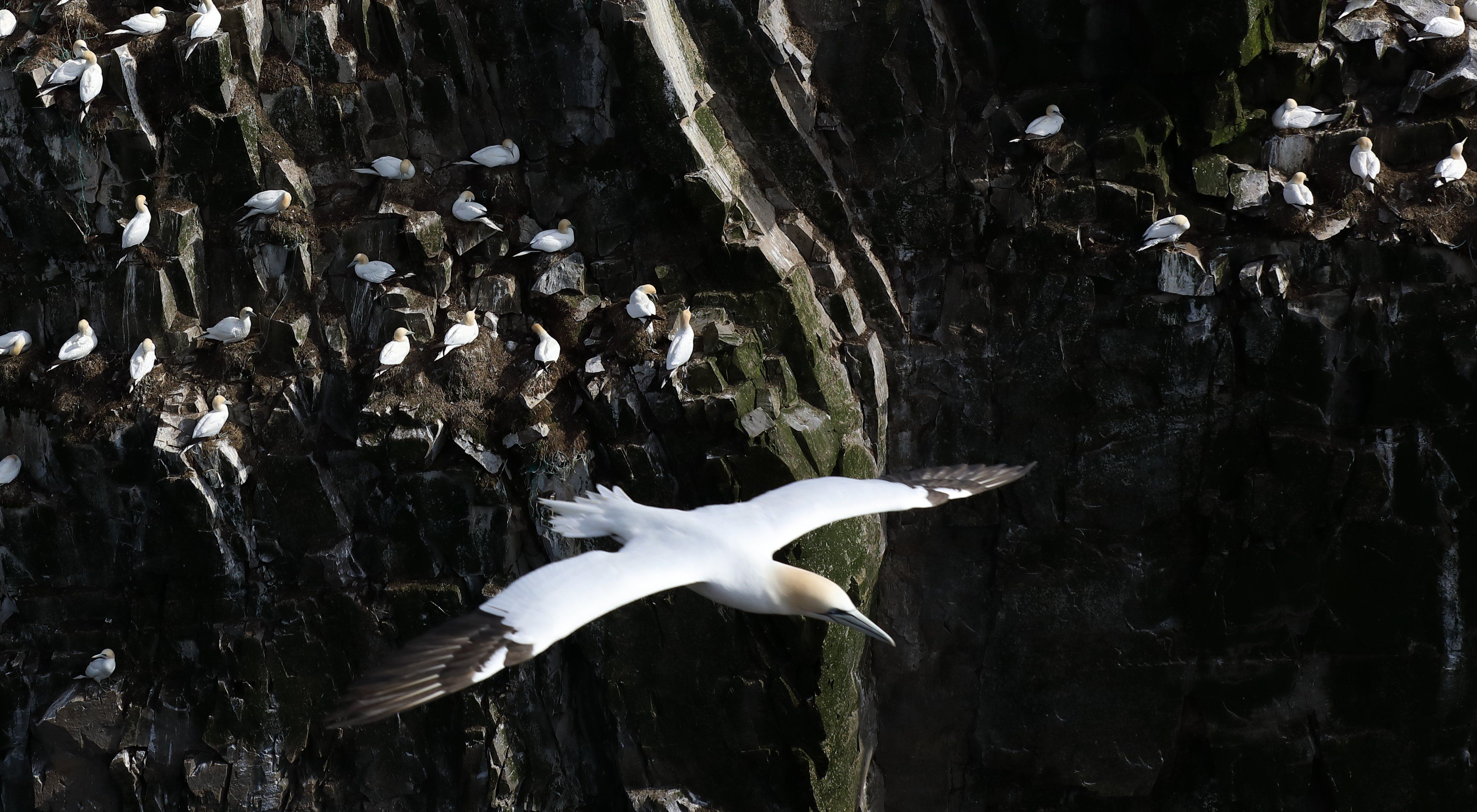 Seagull flying edge of cliff close up shot